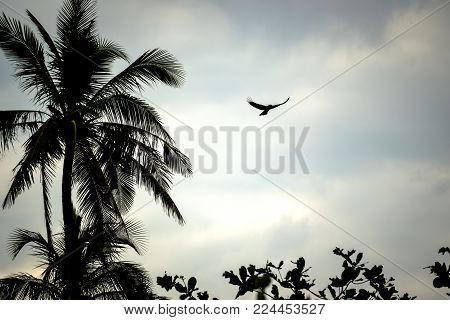 raven flying with wide spread wings in palm tree landscape