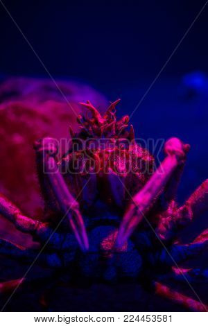 Close up image of a giant spider crab underwater in an aquarium