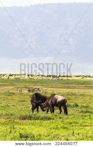 Battle of two. Inside the crater of Ngorogoro. Tanzania