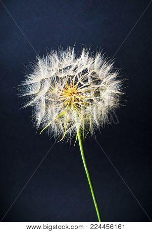 Dried white dandelion head against black background