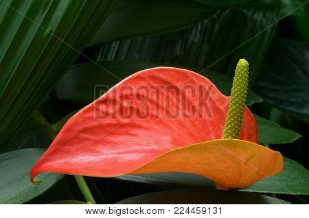 red anthurium plant with spathe protruding from red leaf against green foliage