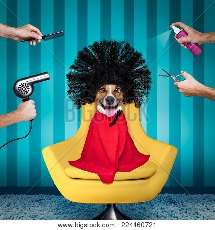 Jack Russell Dog  At The Hairdressers With Long Curly Hair Wig , All Hands Working On Him With Comb,