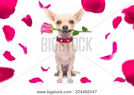Chihuahua Dog In Love For Happy Valentines Day With  Rose Flower In  Mouth , Isaolated On White Back