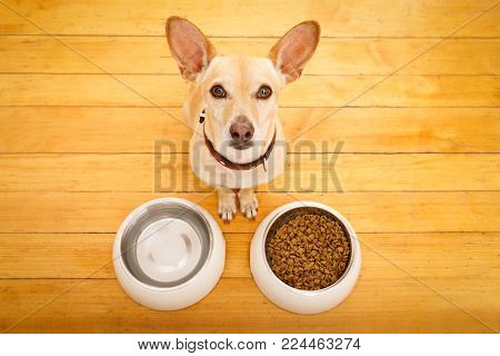 Hungry  Chihuahua Podenco Dog Behind Food Bowl And Water Bowl, Isolated Wood Background At Home And