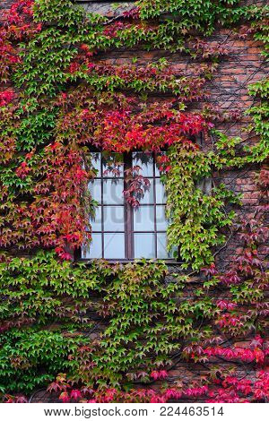 Alone window surrounded by colorful ivy's leaves in autumn. Green and red fall colors interweave between themselves. Climbing plant on the wall.