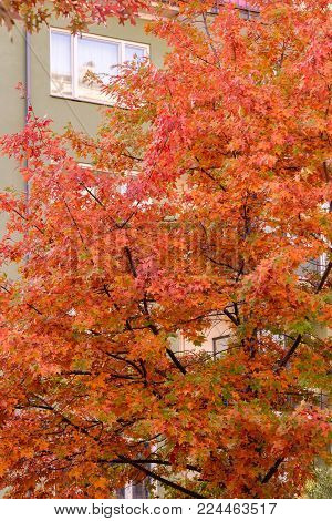 Autumn in the city. Lush tree in autumn colors: green, yellow, orange, red. The green building as a contrast.