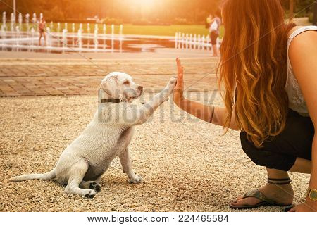cute handshake between woman and little sitting labrador retriever dog puppy - High Five - teamwork