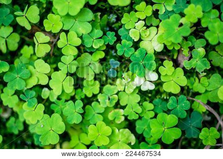 Field of a green clover background. Clovers three leaf. Different highs of the plants creates 3D illusion. Great for Saint Patrick's day
