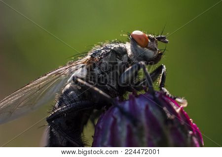 Tachina Fly On The Grass. Macro Photo. Seen Facet On The Eyes. Green Background.