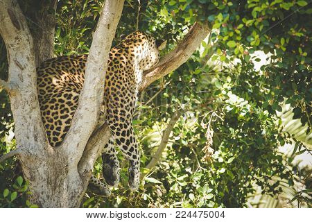 Close Up View Of A Female Leopard Sleeping In A Tree