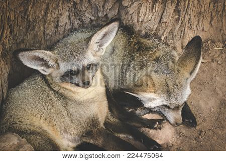 Close Up Image Of Two Bat-eared Foxes Laying In The Shade On A Hot Summer Day