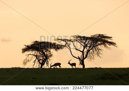 animals and trees silhouetted against sunset on the Maasai Mara, Kenya