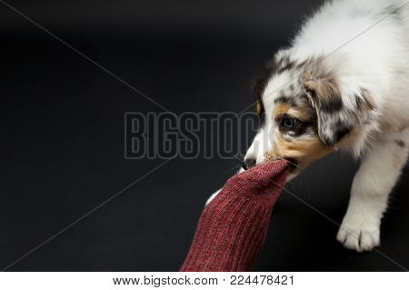 Low-key studio shoot with Australian Shepherd puppy playing tug-of-war with a red sock.