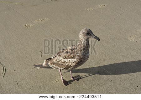 Beach bird with brown feathers walking along the sand