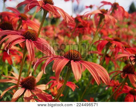 Field of red coneflower flowers in the afternoon sun.