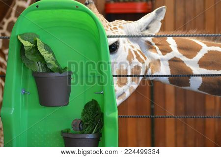 A giraffe using their tongue to grab lettuce