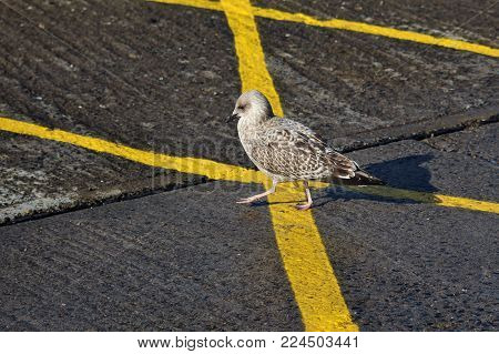 Cautious Young Sea Gull Walking on Yellow Lines