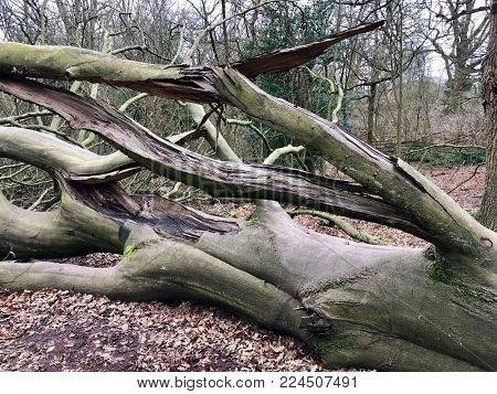 Felled Oak tree with damaged branches