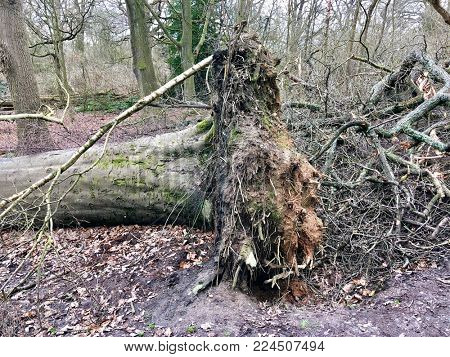 Felled Oak tree stump in deciduous woodland
