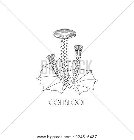 Coltsfoot medicinal herb, contour icon isolated on white background