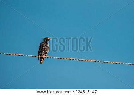 Wild Forest Bird Common Starling Sitting In Wire And Singing In Spring Season. Eastern Europe, Belarus, Belarusian Nature, Wildlife