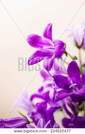 Macro view of a little Campanula flowers, selective focus