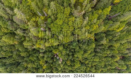 Drop down view of tree tops. Pine forest from above.