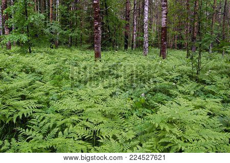Deciduous forest with a thick fern undergrowth