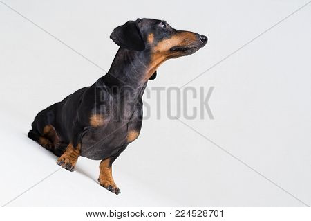 dog puppy dachshund, black and tan, looking up, isolated on gray background