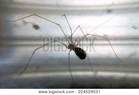 Long-legged spider on a light background close-up on a blurred background