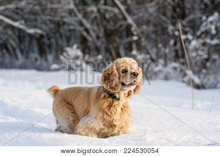 American cocker spaniel in a snowy forest. A dog stands in a snowdrift and looks away.