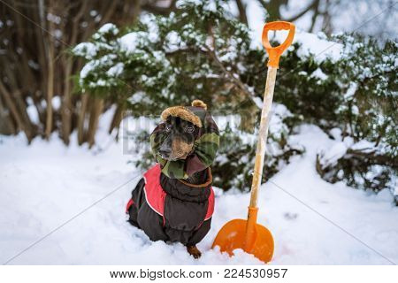 dog dachshund, black and tan, in clothes (sweater) and hat removes snow near his house in winter on the street