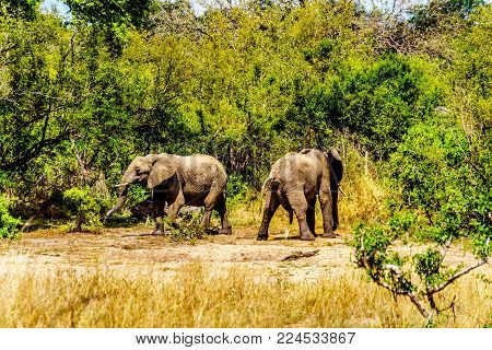 Elephants at Olifantdrinkgat, near Skukuza Rest Camp, in Kruger National Park in South Africa. One of the two urinating after having drank too much water