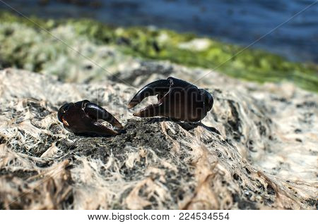 Claws of black sea crab on sea rock covered with dried white and green seaweed