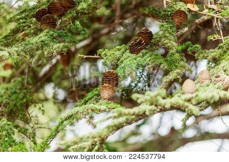 brown bumps on green spruce branch close up