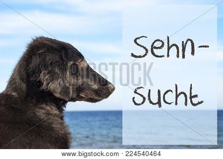 German Text Sehnsucht Means Desire. Flat Coated Retriever Dog Infront Of Ocean. Water In The Background