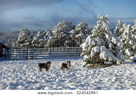 Australians Shepherds Enjoying Snow