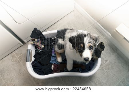 Hi-key, overhead photo in a domestic laundry room of Australian Shepherd puppy in a laundry basked filled with clothes.