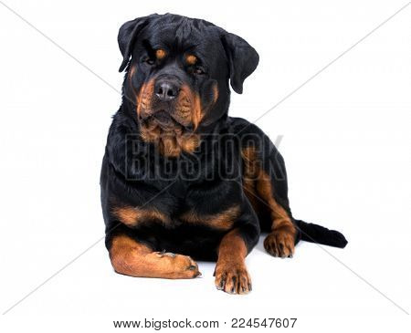 Rottweiler on white background. Studio shot of beautiful young rottweiler dog lying isolated on white background. Domestic pedigree canine