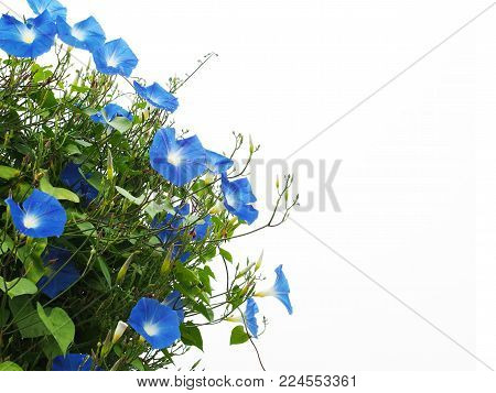 Close up blue morning glory flower with green leaves isolated on white background with copy space. Creeper plant.