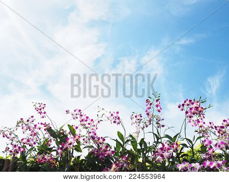 Roll of pink and white orchid on the fence over clear blue sky and white clouds. Natural springtime and summer background with copy space.