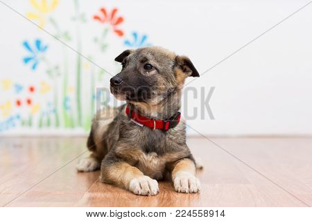 A little mongrel puppy in a red collar lies on the floor