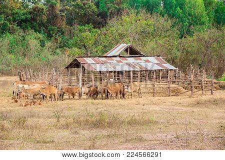 Cow Family country farm animal mammal Thailand