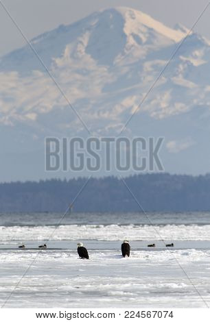 A telephoto shot of bald eagles and other birds on sea ice near Tsawassen, British Columbia. Mount Baker looms in the background across Boundary Bay.