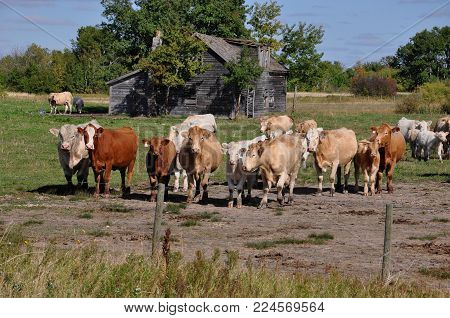 Curious cows in a pasture approaching a fence
