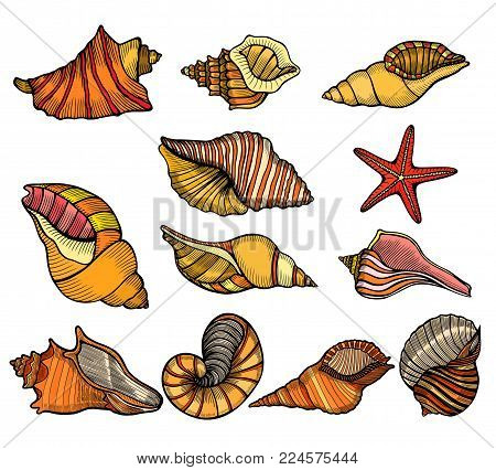 Sea shell. Set color engraving vector vintage illustrations. Isolated on white background.