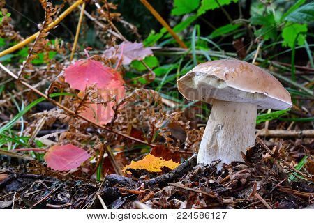 One single young and healthy specimen of Boletus edulis, or Cep, or Penny Bun mushroom, delicious and prized wild mushroom in natural habitat, decorated with some red and yellow autumn leaves