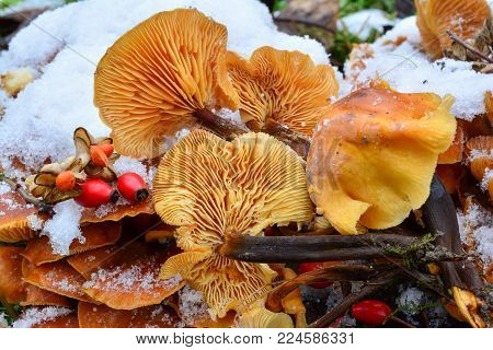 Cluster of Flammulina velutipes or Velvet Shank mushrooms in snow, decorated with some red seeds, edible sort of mushrooms growing in winter time, close up view