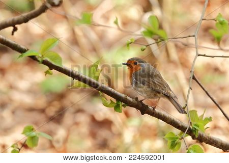 Erithacus rubecula. The wild nature of the Czech Republic. Autumn colors in nature. Beautiful picture. Free nature. Forest full of birds. Colorful bird in nature.
