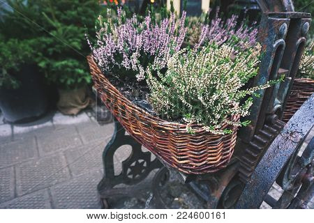 Wicker basket with heather flowers close-up on the street.